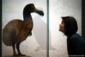 A museum employee looks at a Dodo on display at the Extinction: Not the End of the World? exhibition at The Natural History Museum in London