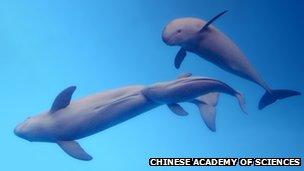 Yangtze finless porpoises in captivity