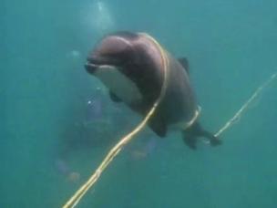 dolphin in a net