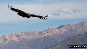 A condor in Peru