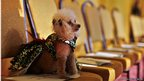 Boo, a Toy Poodle