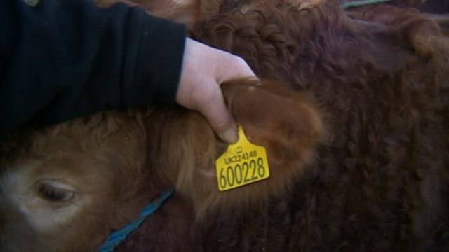 Tag on cow