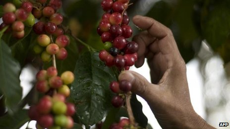 Coffee beans being collected at a farm near Guatemala City (17 Jan)