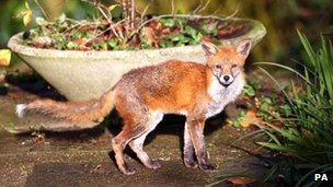 Fox attacked baby in home - police