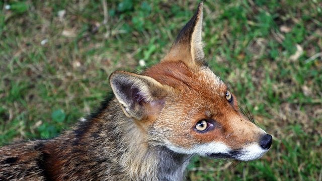 generic fox