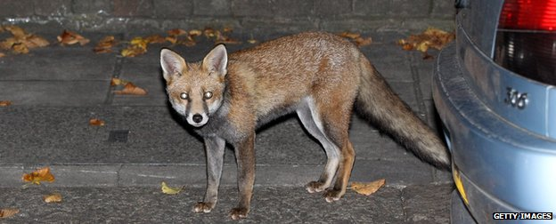 Are urban fox numbers rising?