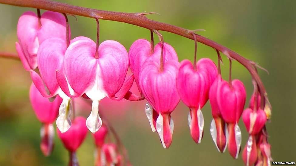_65829211_bleeding_hearts.jpg