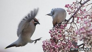 Waxwings on a rowan tree in UK