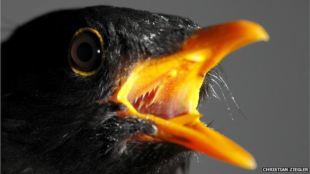 Blackbird singing with mouth open