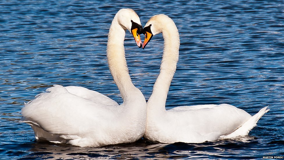 _65848004_swan_heart.jpg