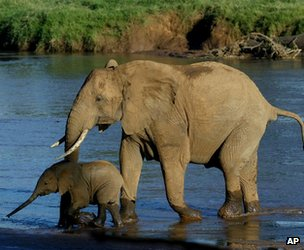African elephant and its calf (image: AP)