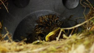 Baby blackbird in nest
