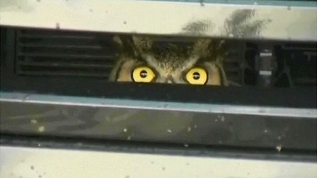 Owl in car grille