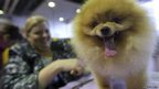 Michelle Ridenour grooms a Pomeranian
