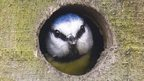 Blue tit looking out from nest box hole