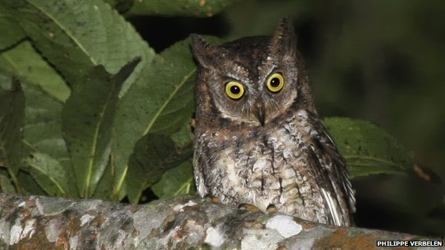 New owl species Otus jolande