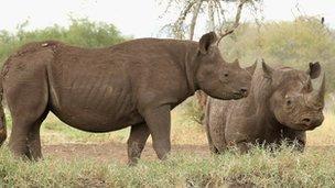 Black Rhinos in Mkomazi, Tanzania 19 June 2012