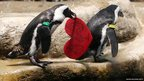 An African Penguin holds a Valentine&#039;s Day card  