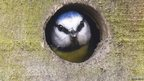 Blue tit looking out from nest box hole (c) Christine Hall