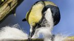 Great tit collecting nesting material (c) Christine Hall