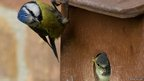 Blue tit parent encouraging young out of nest box (c) Andrew Williams