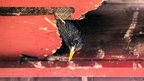 Starling nesting in hole in soffit board (c) Michelle Keohane