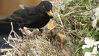 Male blackbird feeding chicks in clematis (c) Kevin Langham