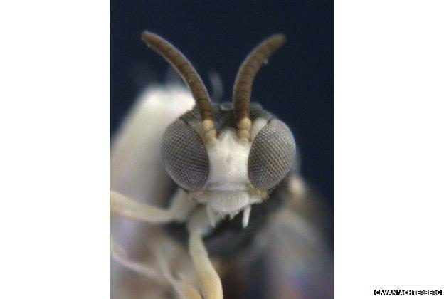 A wasp, Kollasmosoma sentum,