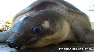 Pig-nosed turtle (image: Ricardo Franca Silva)