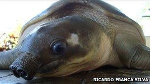 Pig-nosed turtle (image: Ricardo Franca Silva)