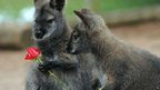 A Wallaby holds a rose at Twycross Zoo, Warwickshire