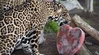 "A jaguar licks a heart-shaped Valentine""s Day treat of frozen beef blood, beef hearts and pieces of meat"