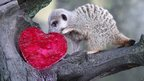 A meerkat looks at a beetroot flavoured love heart