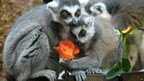 Two ring tailed lemurs hold a rose