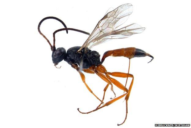 Parasitic wasp, Stibeutes blandi