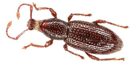 A beetle discovered by Jean-Michel Lemaire in Monaco, Otiorhynchus (Lixorrhynchus) monoecirupis