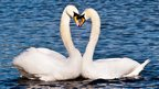 Swans on Roath Lake by Martin Forde