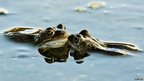 Frogs in a pond by Joe D'Arcy