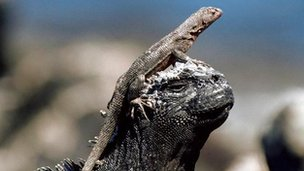 Lava lizard basks on the head of a marine iguana