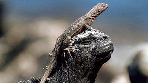 Lava lizard basks on the head of a marine iguana