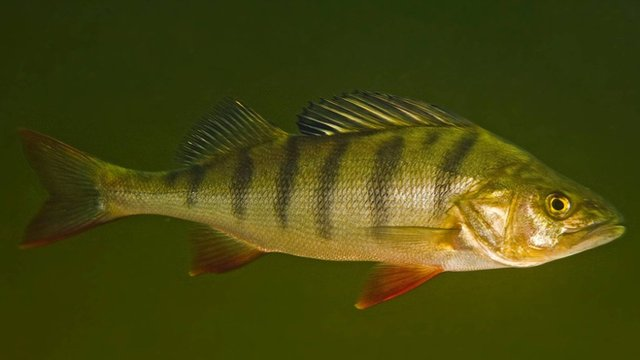 A perch (Perca fluviatilis)