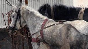 Horses in Romania