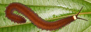 A new species of velvet worm found in Ecuador