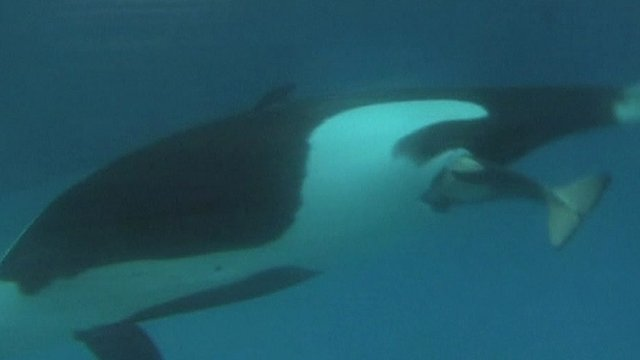 Kasatka giving birth