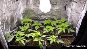 Cannabis plants