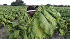 A tobacco worker in Zimbabwe - Tuesday 12 February 2013