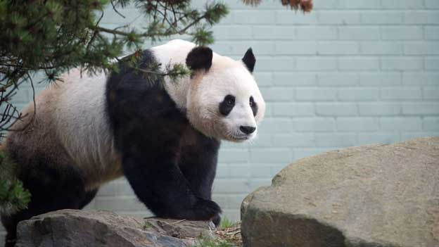 Male panda Yang Guang has been doing &quot;handstands&quot;