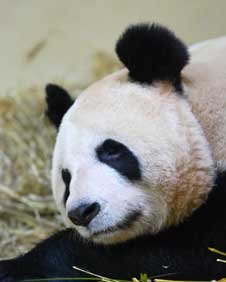 Female Tian Tian has been &quot;bleating&quot;