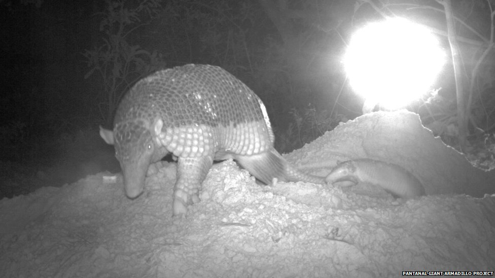 Mother giant armadillo and baby caught on camera