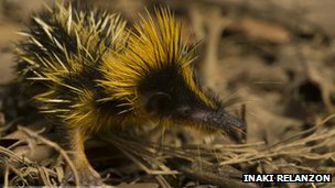 Tenrec